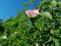 Wild pink flower in nature. Picture of nature pink wild flower royalty free stock photography