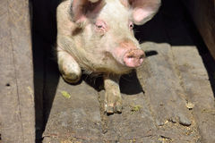 Picture of nose pig inside the piggery standing in the sun. Work Stock Image