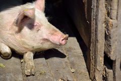 Picture of nose pig inside the piggery standing in the sun. Work Royalty Free Stock Photos