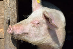 Picture of nose pig inside the piggery standing in the sun. Work Royalty Free Stock Images