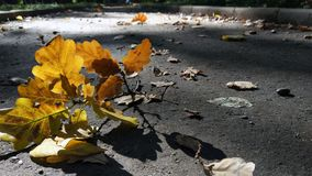 Photo of an oak branch in a sunbeam laying on pavement royalty free stock photo