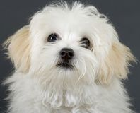 Picture Of A Bichon Puppy Royalty Free Stock Images