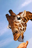 Picture Of Feeding Giraffe Royalty Free Stock Image