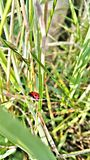 Picture og grass and a ladybird Royalty Free Stock Photos