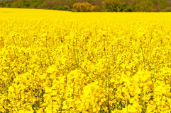 Picture of Oilseed Rapes Royalty Free Stock Photography