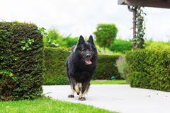 Old German Shepherd dog in the garden. Picture of an Old German Shepherd dog in the garden Stock Photography