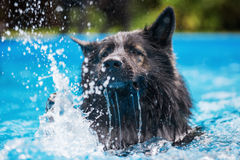 Old German Shepherd dog swims in a swimming pool. Picture of an Old German Shepherd dog who swims in a swimming pool Stock Photo