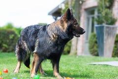 Old German Shepherd dog walks in the garden. Picture of an Old German Shepherd dog who walks in the garden Stock Photography