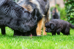 Old German Shepherd dogs at a feeding bowl Stock Images