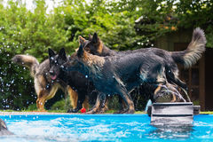Old German Shepherd dogs playing at a swimming pool Stock Photography