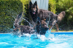 Old German Shepherd dogs playing at a swimming pool Royalty Free Stock Images