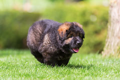 Old German Shepherd puppy runs on the meadow. Picture of an Old German Shepherd puppy which runs on the meadow Royalty Free Stock Images
