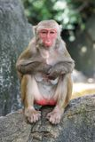 Picture of the old Macaque Rhesus Stock Photos