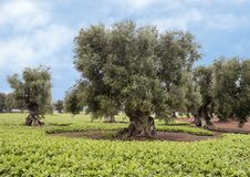 Olive trees, Savelletri Di Fasano. Picture are olive trees in Savelletri Di Fasano, Puglia, Italy. The olive tree had its origins some 20–40 million years ago royalty free stock images