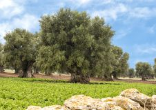 Olive trees, Savelletri Di Fasano. Picture are olive trees in Savelletri Di Fasano, Puglia, Italy. The olive tree had its origins some 20–40 million years ago stock photography