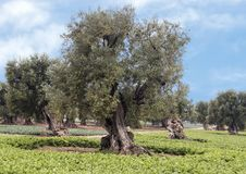 Olive trees, Savelletri Di Fasano. Picture are olive trees in Savelletri Di Fasano, Puglia, Italy. The olive tree had its origins some 20–40 million years ago royalty free stock photo