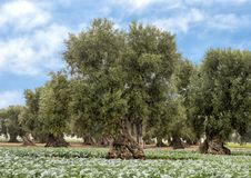 Olive trees, Savelletri Di Fasano. Picture are olive trees in Savelletri Di Fasano, Puglia, Italy. The olive tree had its origins some 20–40 million years ago stock photo