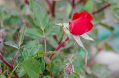 The red rose. Royalty Free Stock Images