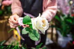 Picture of one white rose in florist hands. Woman stand and wears black apron. She is in room full of plants. royalty free stock images