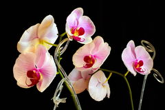 Picture orchid on a black background. Orchid on a black background Stock Image