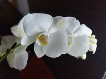Orchid flower. Picture of orchid flower white royalty free stock photos