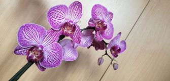 Orchid flower. Picture of orchid purple white flower stock photography