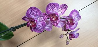 Orchid flower. Picture of orchid purple white flower royalty free stock photography