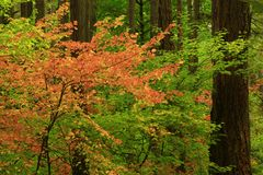 Pacific Northwest forest. A picture of an Pacific Northwest Washington state forest with a conifer and maple trees in fall royalty free stock photo