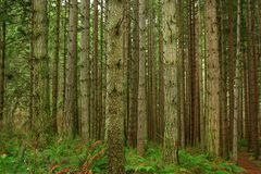Pacific Northwest forest and conifer trees. A picture of an Pacific Northwest Washington state forest with conifer trees stock photos