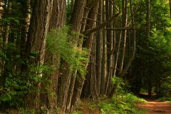 Pacific Northwest forest trail. A picture of an Pacific Northwest Washington state forest hiking trail and conifer trees royalty free stock photo
