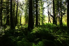 Pacific Northwest forest and ferns. A picture of an Pacific Northwest Washington state forest with Sword ferns royalty free stock photo