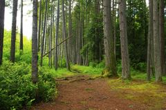 Pacific Northwest forest trail. A picture of an Pacific Northwest Washington state forest with a hiking trail royalty free stock image