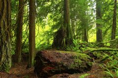 Pacific Northwest forest and conifers. A picture of an Pacific Northwest Washington state forest with conifers royalty free stock photography