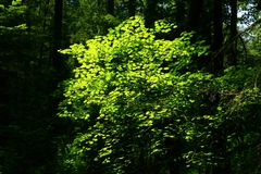 Pacific Northwest forest and Vine maple tree. A picture of an Pacific Northwest Washington state forest with a Vine maple tree stock images