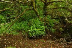 Pacific Northwest forest and Vine maple tree. A picture of an Pacific Northwest Washington state forest and Vine maple tree stock image