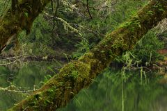 Pacific Northwest forest and Vine maple trees. A picture of an Pacific Northwest Washington state forest and Vine maple trees stock image
