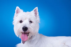Picture of a panting westie Stock Image