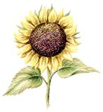 Picture, pastel, sunflower Royalty Free Stock Photo