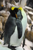 Picture of a penguin preening wing Royalty Free Stock Photos
