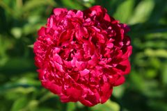 Picture perfect peony Royalty Free Stock Photos