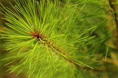 Picture of pine needles stock image