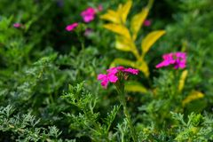 Pink colored attractive flowers in the garden with green leaves in the background stock images