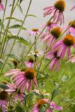 Pink cone flowers at the Magnolia plantation in Charleston South Carolina royalty free stock images