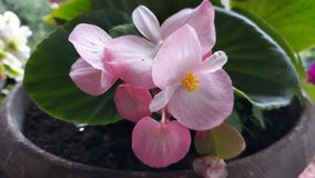 Pink flower. Picture of pink flower royalty free stock images