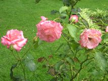 Pink roses in all stages of life. A picture of pink roses in all stages of life, young and fading away, taken on a vacation at the Azores Royalty Free Stock Photo