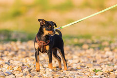 Pinscher hybrid puppy at the leash standing at a pebble beach. Picture of a pinscher hybrid puppy at the leash who standing at a pebble beach Royalty Free Stock Image