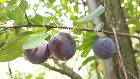 Plum on tree. Picture of plum on tree royalty free stock photos