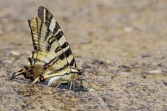 Podalirio butterfly perched on the floor Royalty Free Stock Images
