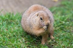 Prairie dog in gnawing royalty free stock photo