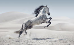 Picture presenting the galloping white horse Royalty Free Stock Image